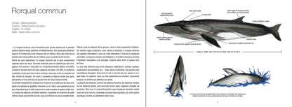 Feuilletage-Grands-mammiferes-marins-rorqual2
